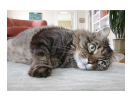 Animal Communicator Helps Cat with Immune Disorder
