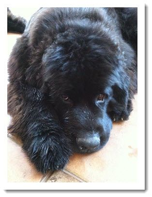Sandra Younger Newfie dog River